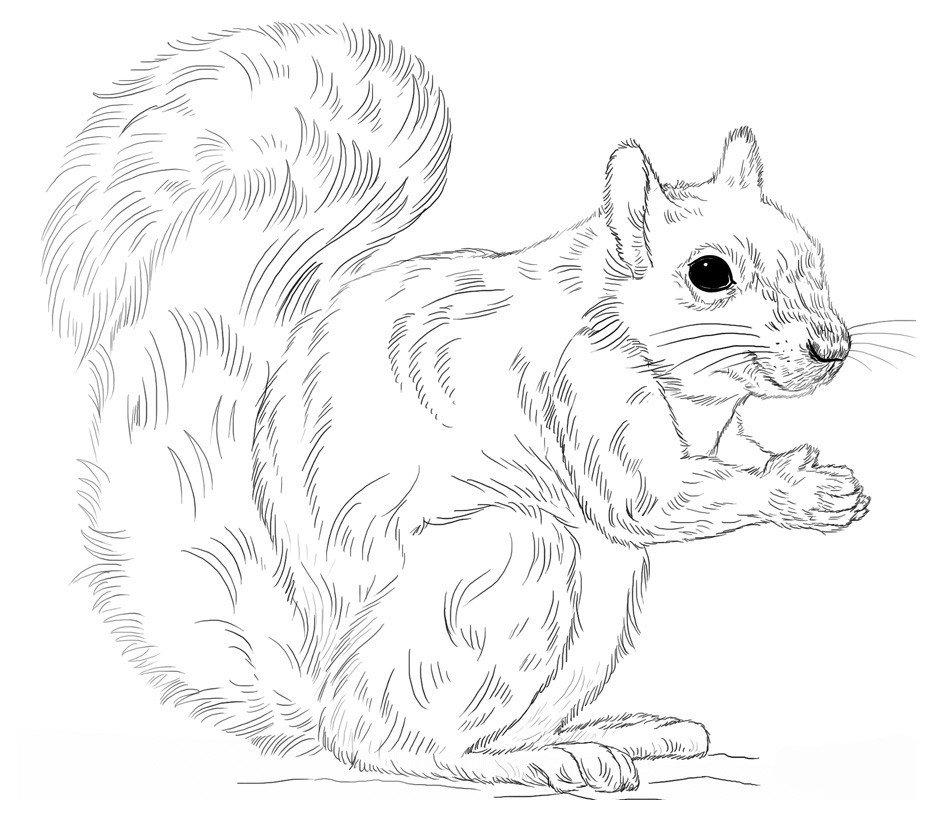 Картинка для раскраски «Каролинская белка»