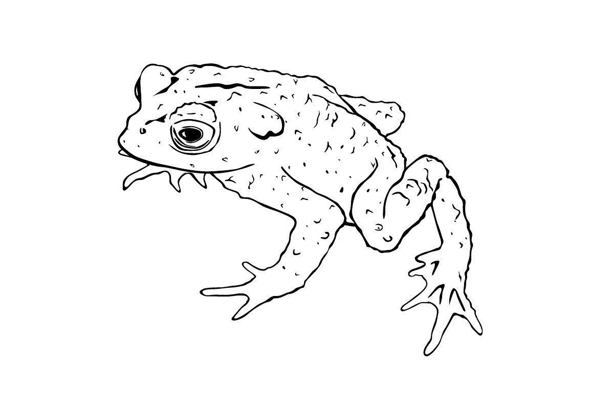 Картинка для раскраски «Жаба»